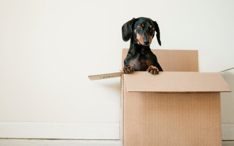 A picture showing a small dog popping its head out of a box.
