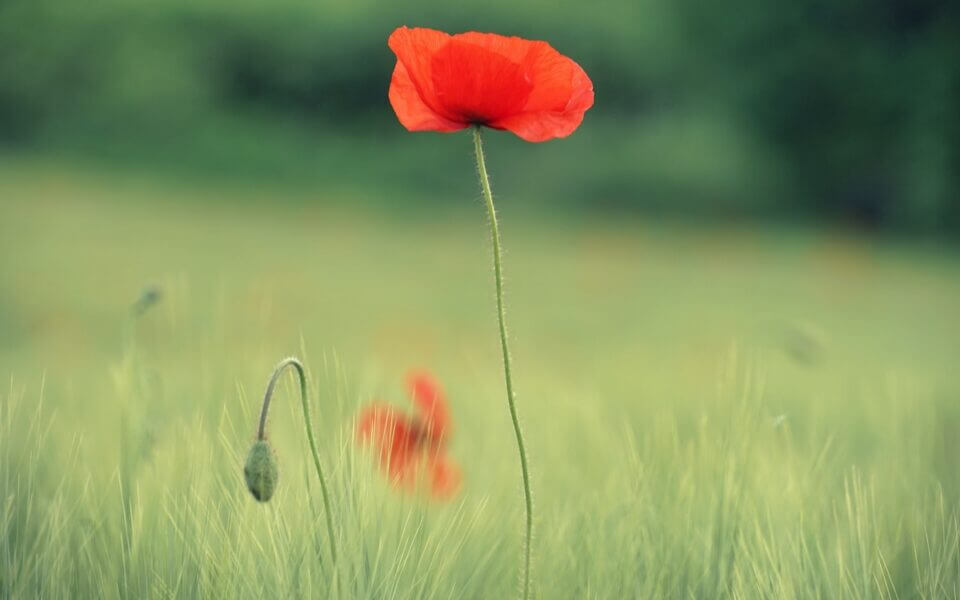A picture of a lone poppy flower in a field